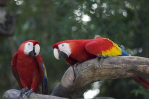 Xcaret, Parrot